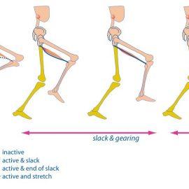 Geen excentrische hamstring actie tijdens het hardlopen?