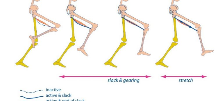 No eccentric hamstring action during running?