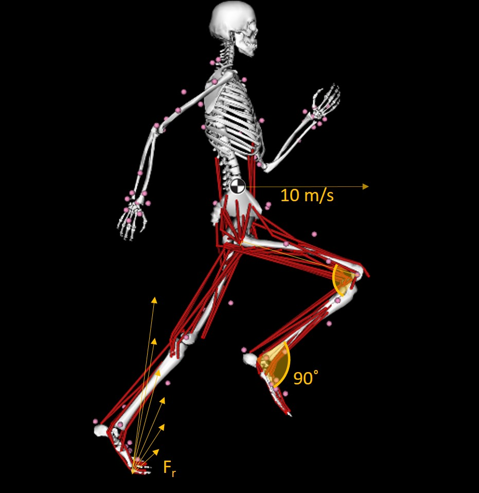 Musculoskeletal running model