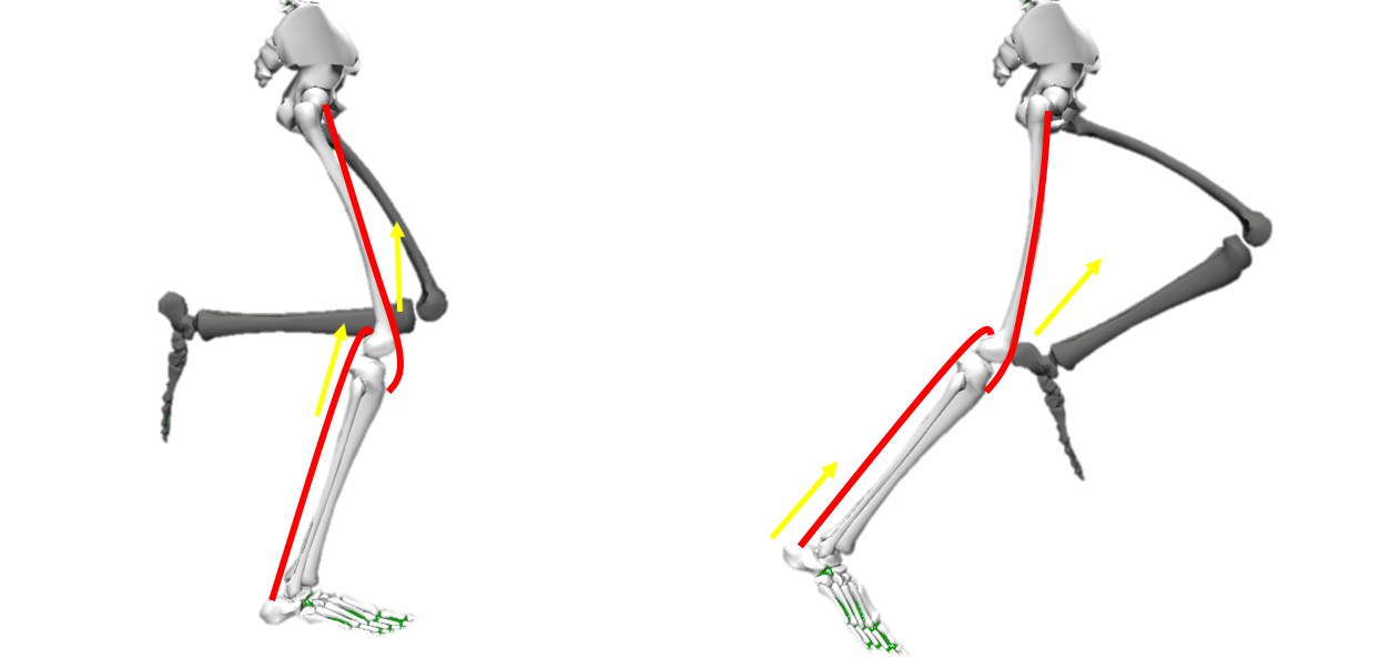 Energy transport in running shown by musculoskeletal model of OpenSim with bi-articular muscles such as the rectus femoris and gastrocnemius