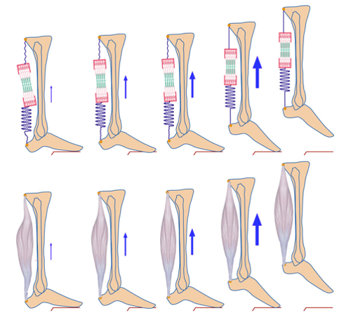 Muscle slack shown by Hill-type muscle model during a vertical jump