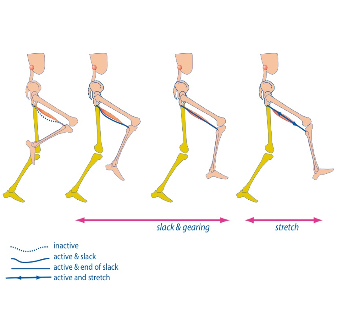 Hamstrings functioning during running with musculoskeletal model including muscle slack and gearing and elastic energy by isometric fascicle action