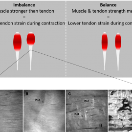 Imbalances in muscle and tendon strength and the relation with injuries and performance