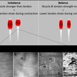 Disbalans in spier- en peeskracht en de relatie met sportprestaties en blessures